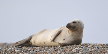 A common seal at Blakeney Point on the Norfolk coast - Credit;PA