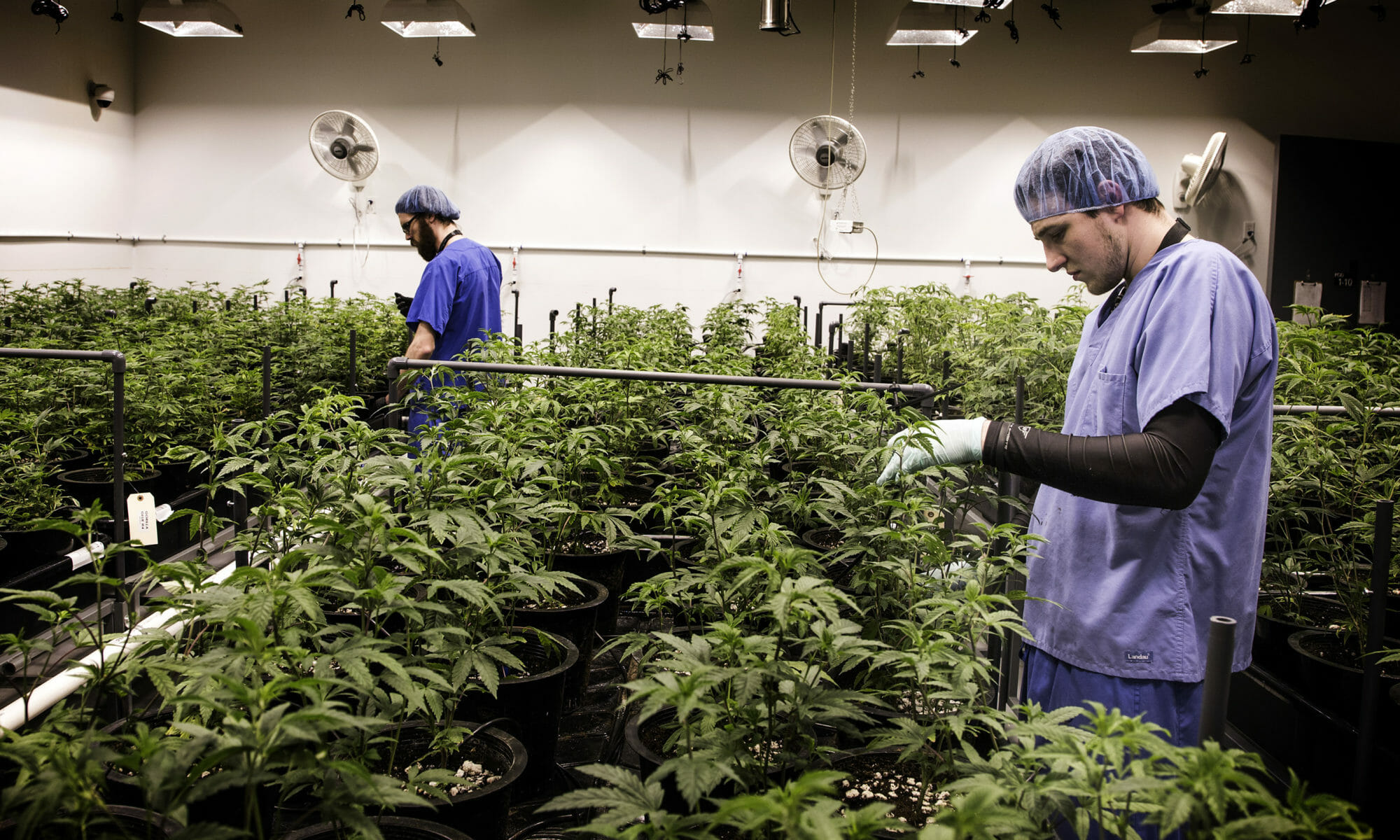 Two employees working on an irrigation system amid rows of cannabis