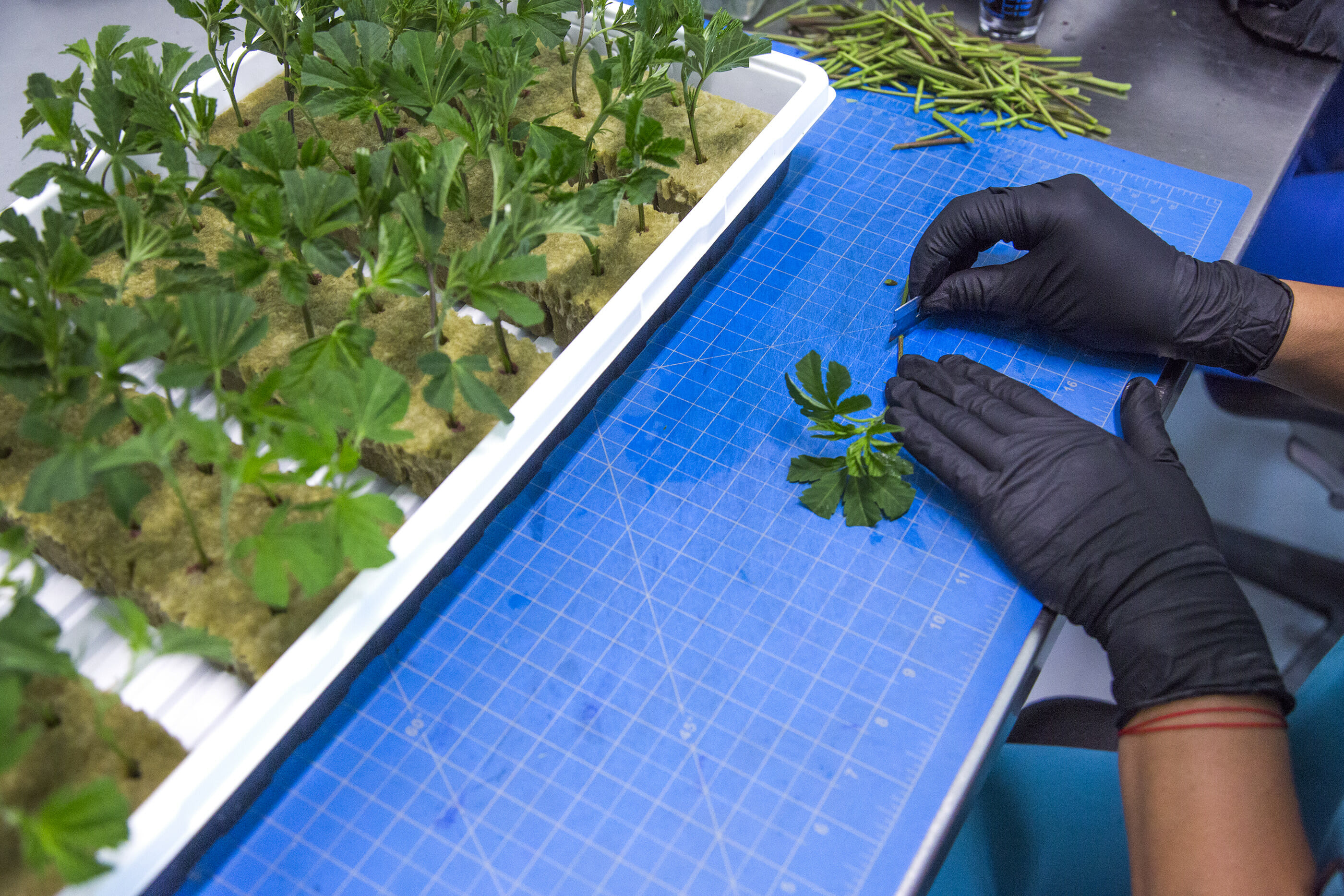 An employee prepares cannabis for planting in the propagation room at Reef Dispensaries