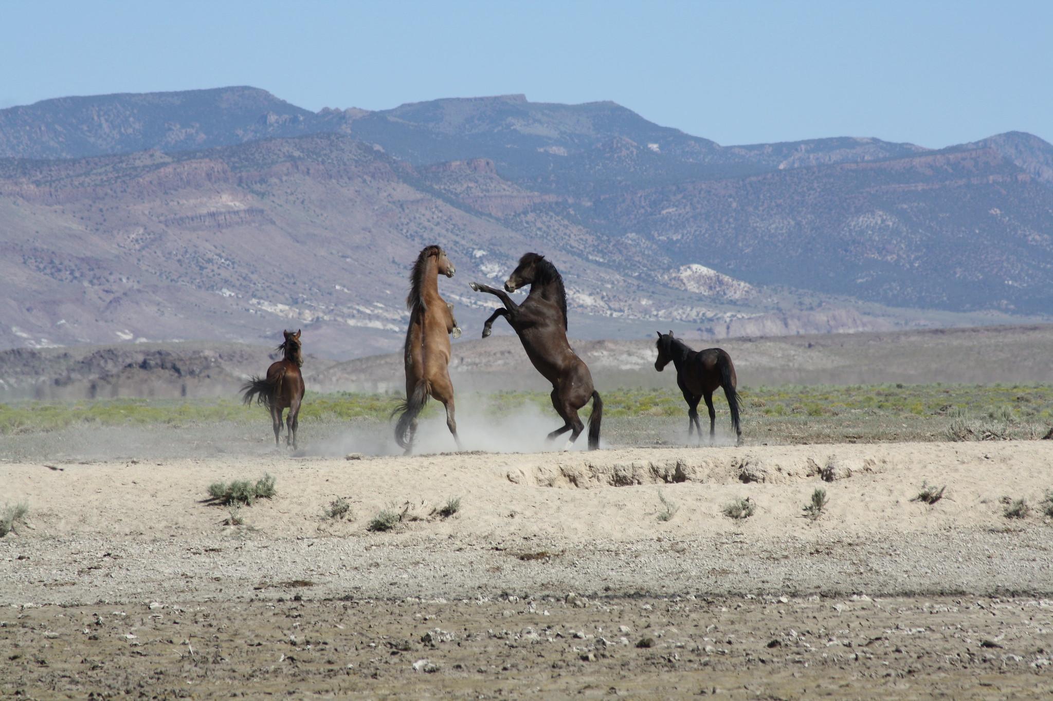 Wild horses on federal public land