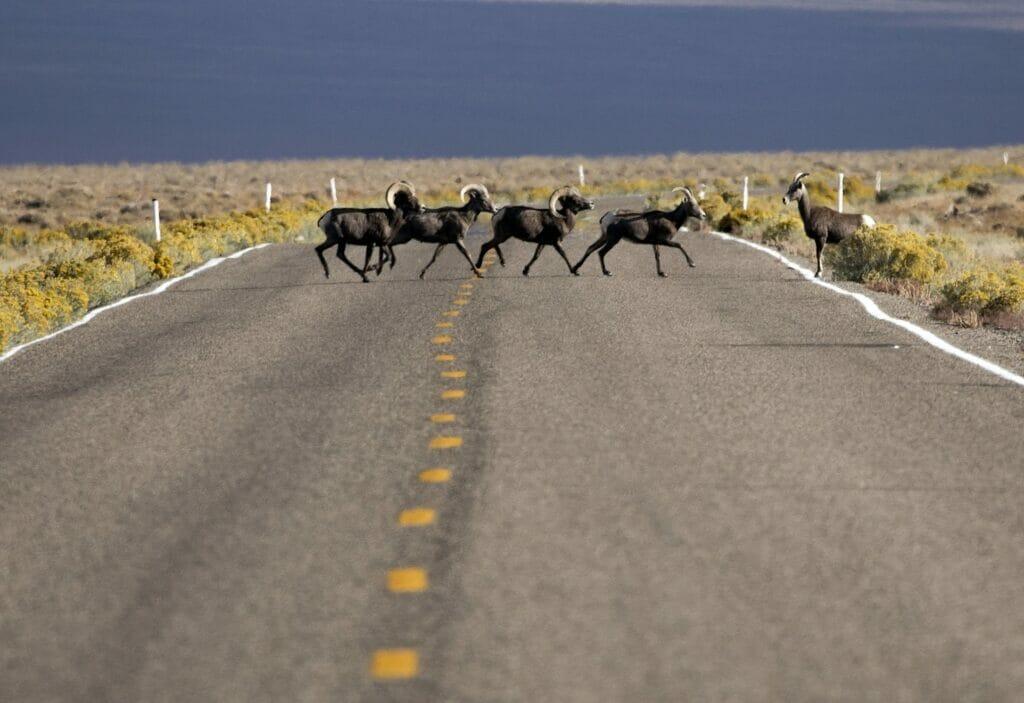 Desert bighorn sheep crossing road