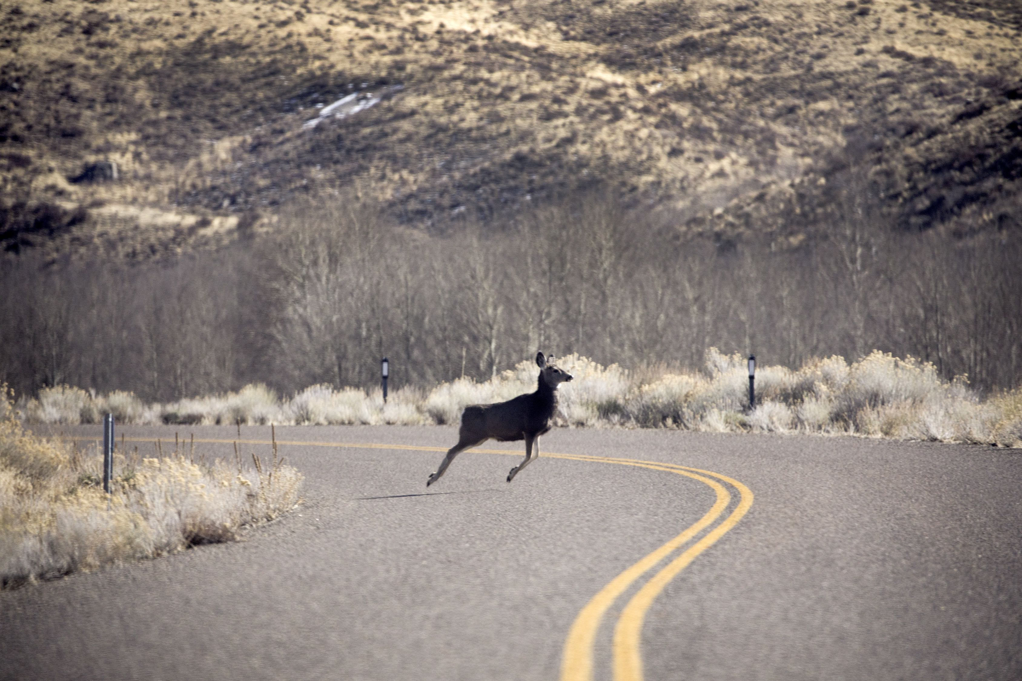 A mule deer crossing Old Harrison Pass Road in the Ruby Mountain range