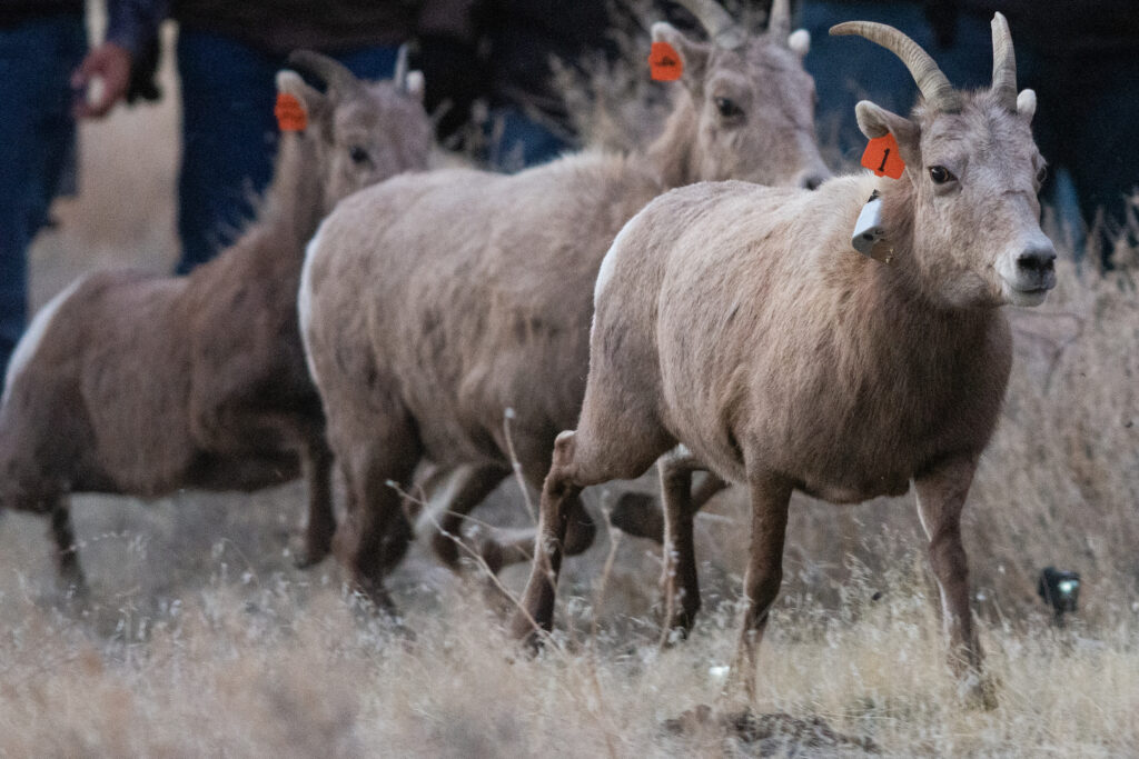 Three bighorn sheep.