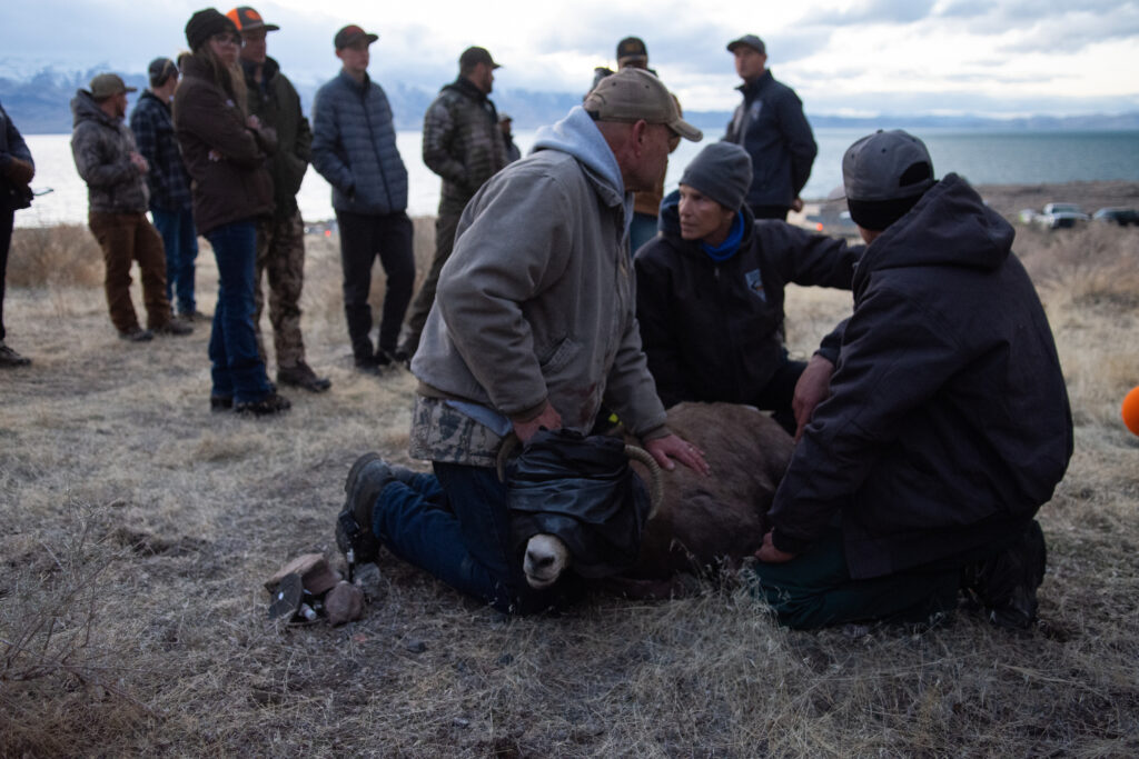 An injured bighorn sheep.