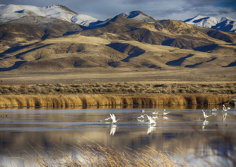 photo of tundra swans