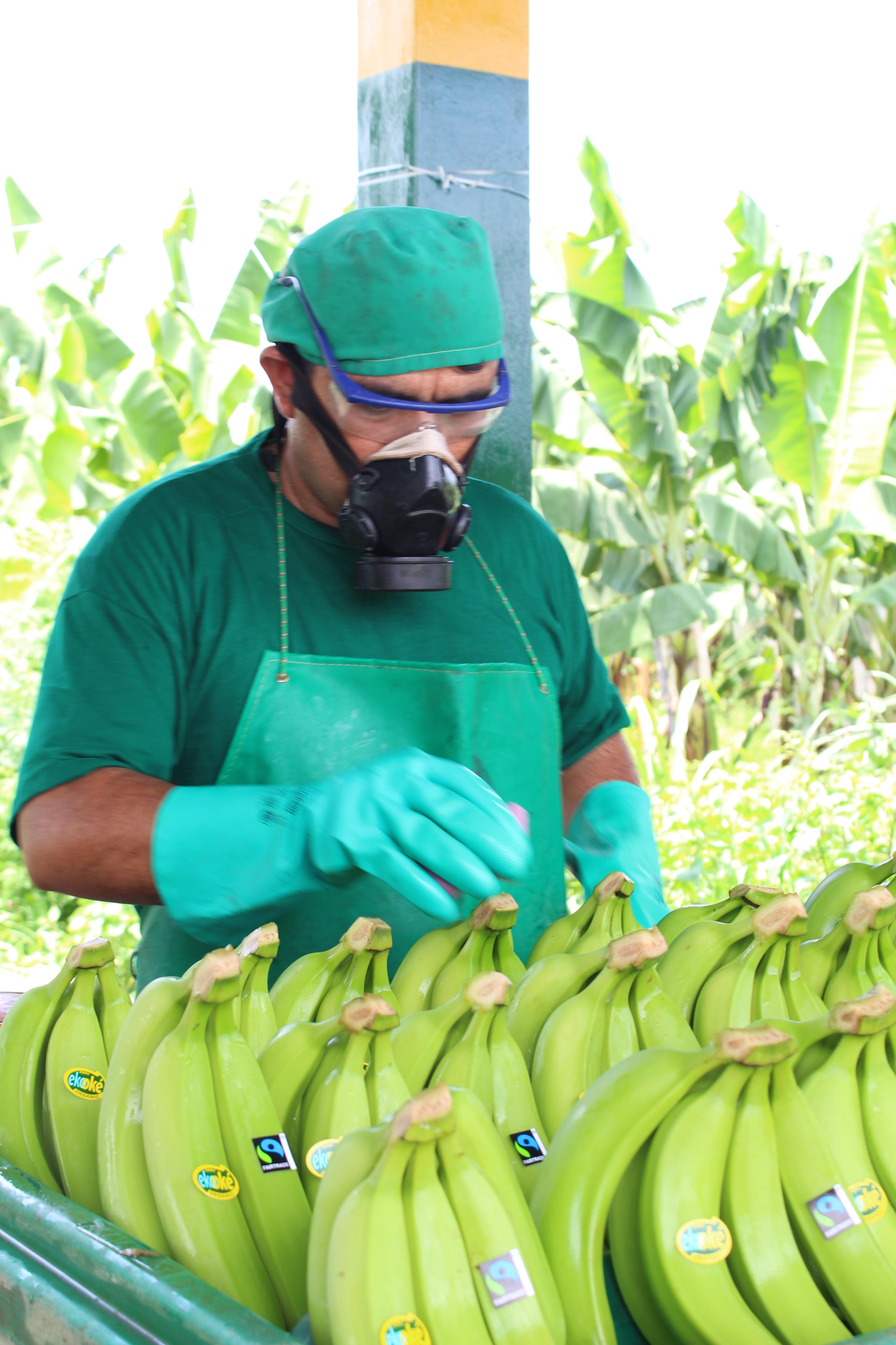 Banano Organico 1