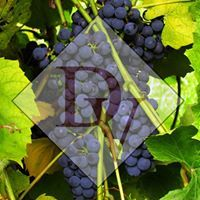 Logo for Danzinger Vineyards