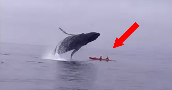 Kayakers Nearly Crushed By Huge Humpback Whale