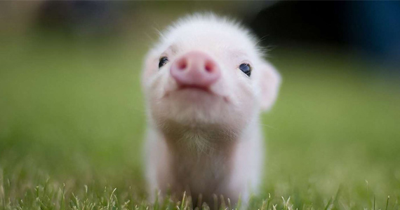 16 Times Pigs Were WAY Cuter Than Bacon Tastes