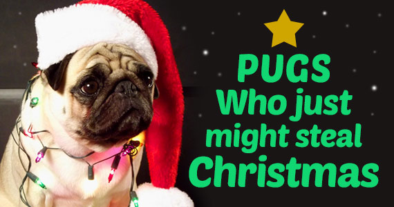 Pugs Who Just Might Steal Christmas