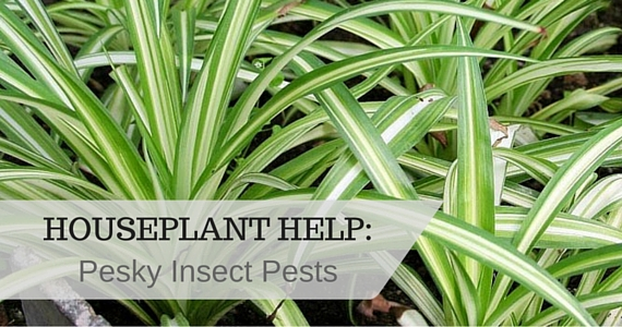 Houseplant Help: Pesky Insect Pests