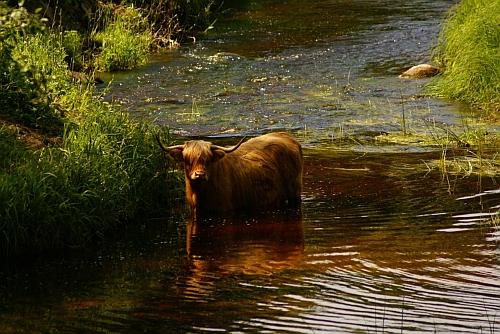 Savvaļas govs