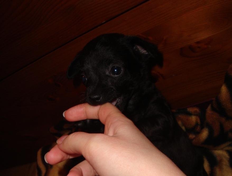 chihuahua kucēns kož rokā