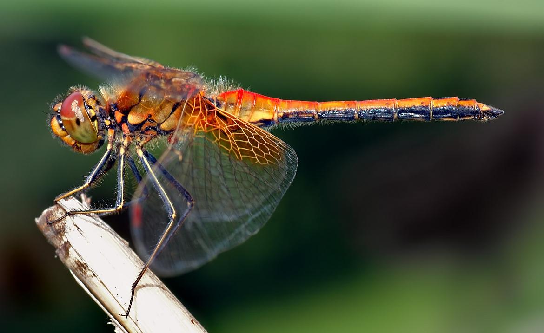 Sympetrum flaveolum (spāre)