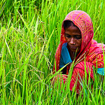 Rice farmer in Bangladesh tends a crop.