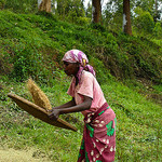 Cleaning rice in Rwanda.