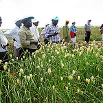 Finger millet in Africa