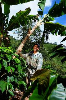 Pic by Neil Palmer (CIAT). A coffee farmer who uses the traditional system of plantain as a shade crop.