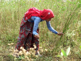 A woman harvesting pigeonpea crop in her farm in Padasoli village.