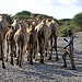 Camels near Wajir, northern Kenya
