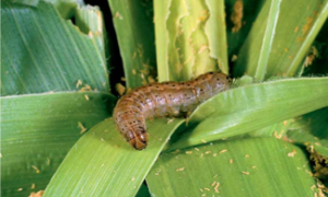 fall_armyworm.png