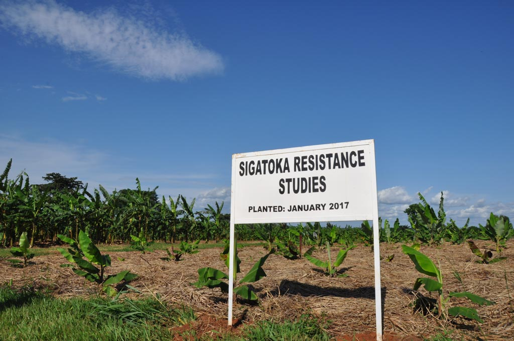 Picture of sign for Sigatoka Resistance Studies