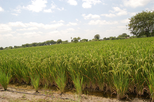 Innovations For Sustainable Rice Farming Jain Irrigation