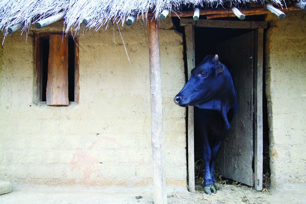 Dairy cow looks out from her stall in a village in central Malawi (photo credit: ILRI/Stevie Mann)