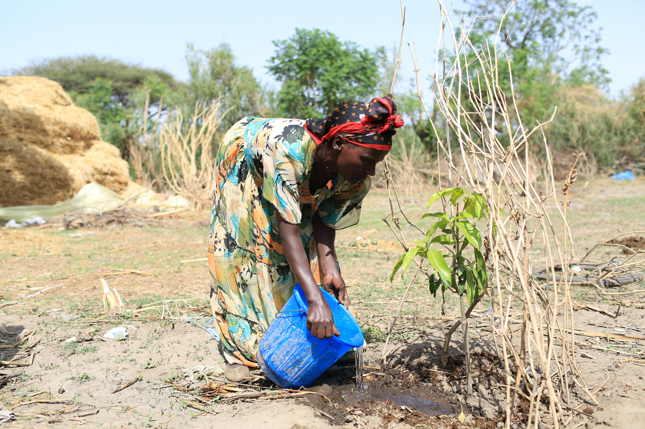 Photo by: Apollo Habtamu/IWMI. Aregash Bacha waters her mango seedling, near Meki, Ethiopia.