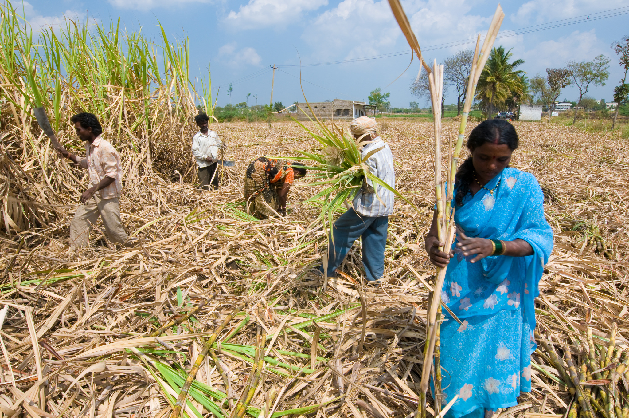 Farmers harvest sugarcane in India's Karnataka state
