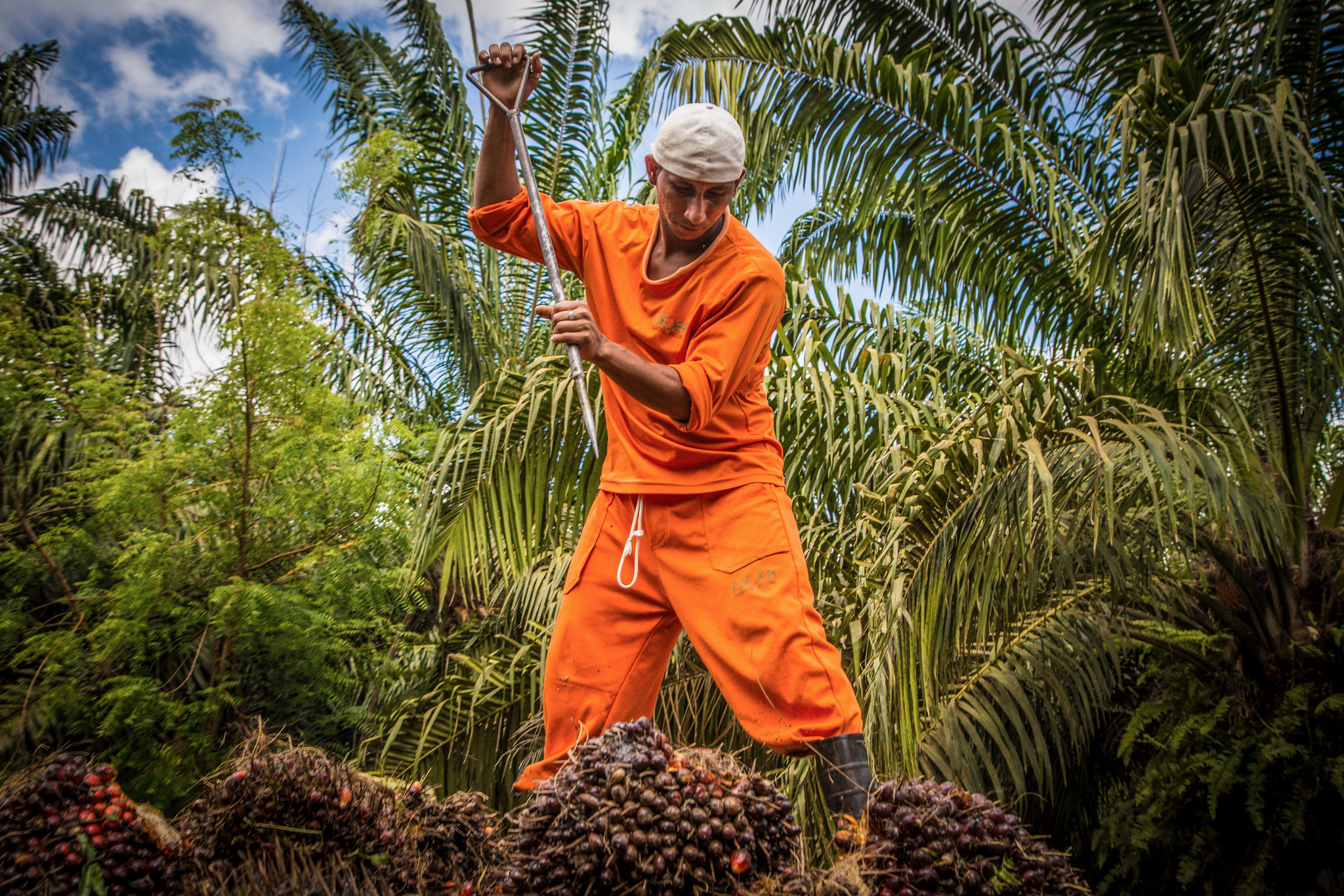palm oil, oil palm, smallholder, Borneo, Kalimantan