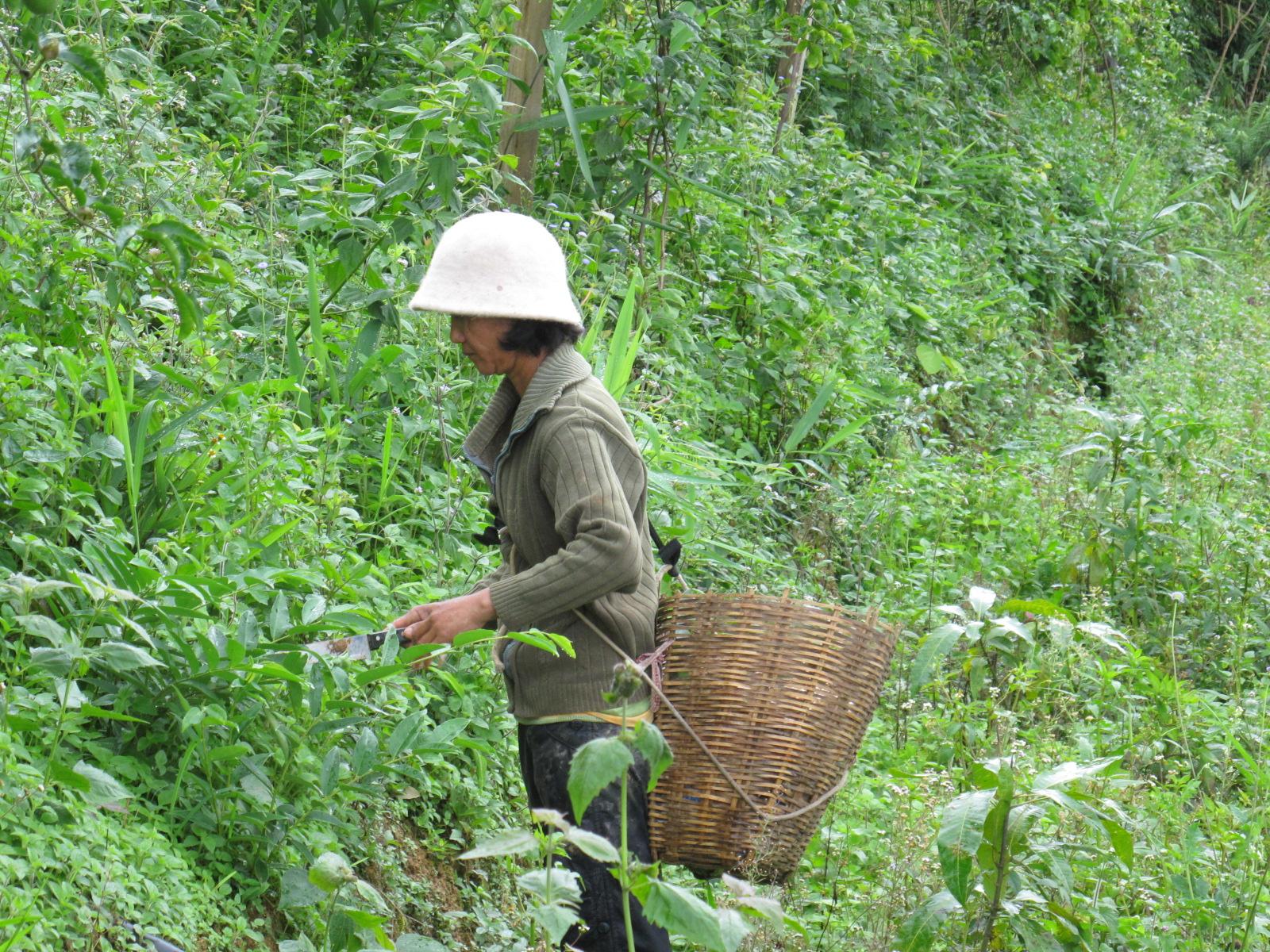 Woman-collecting-edible-fungi-in-Yunnan-China-Naveen-Dissanayake - CGIAR
