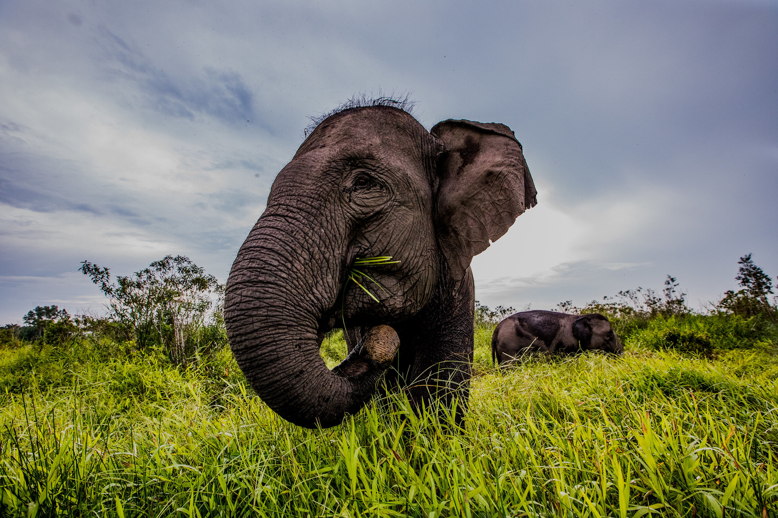 Earth Day, elephant conservation, wild sumatran elephants