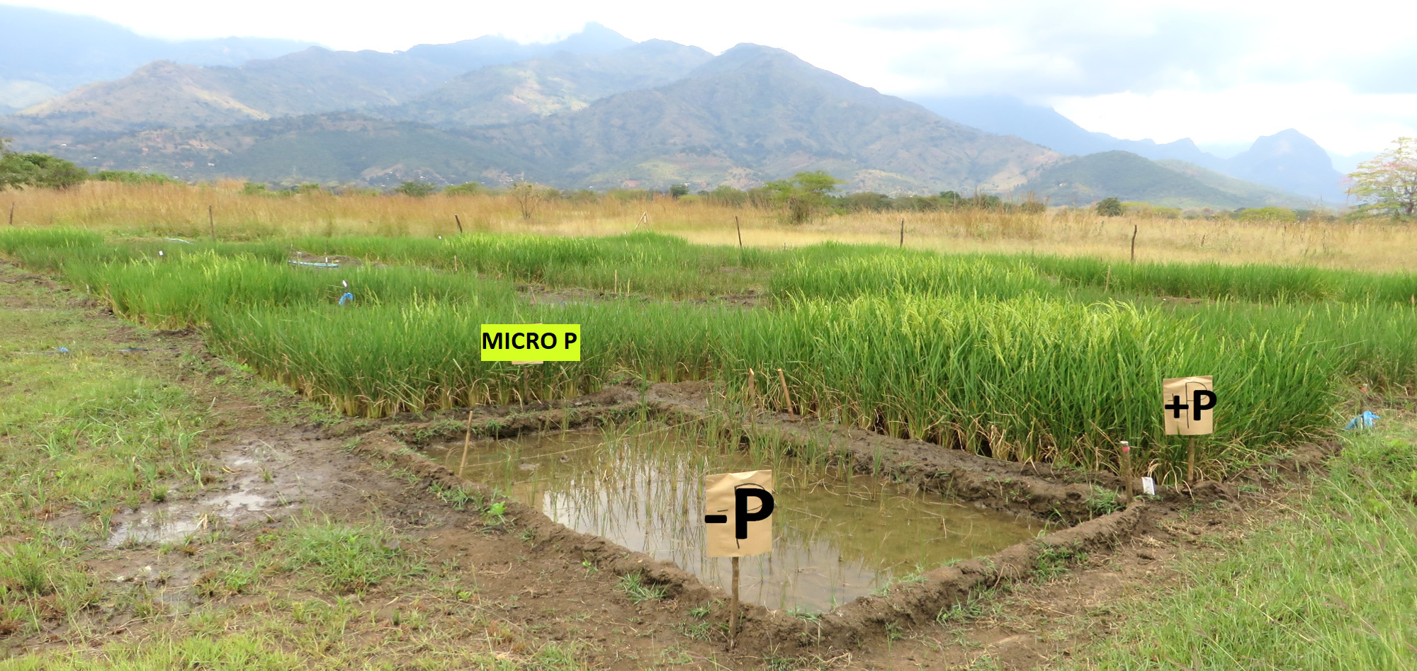 water saving rice production systems - HD2000×948