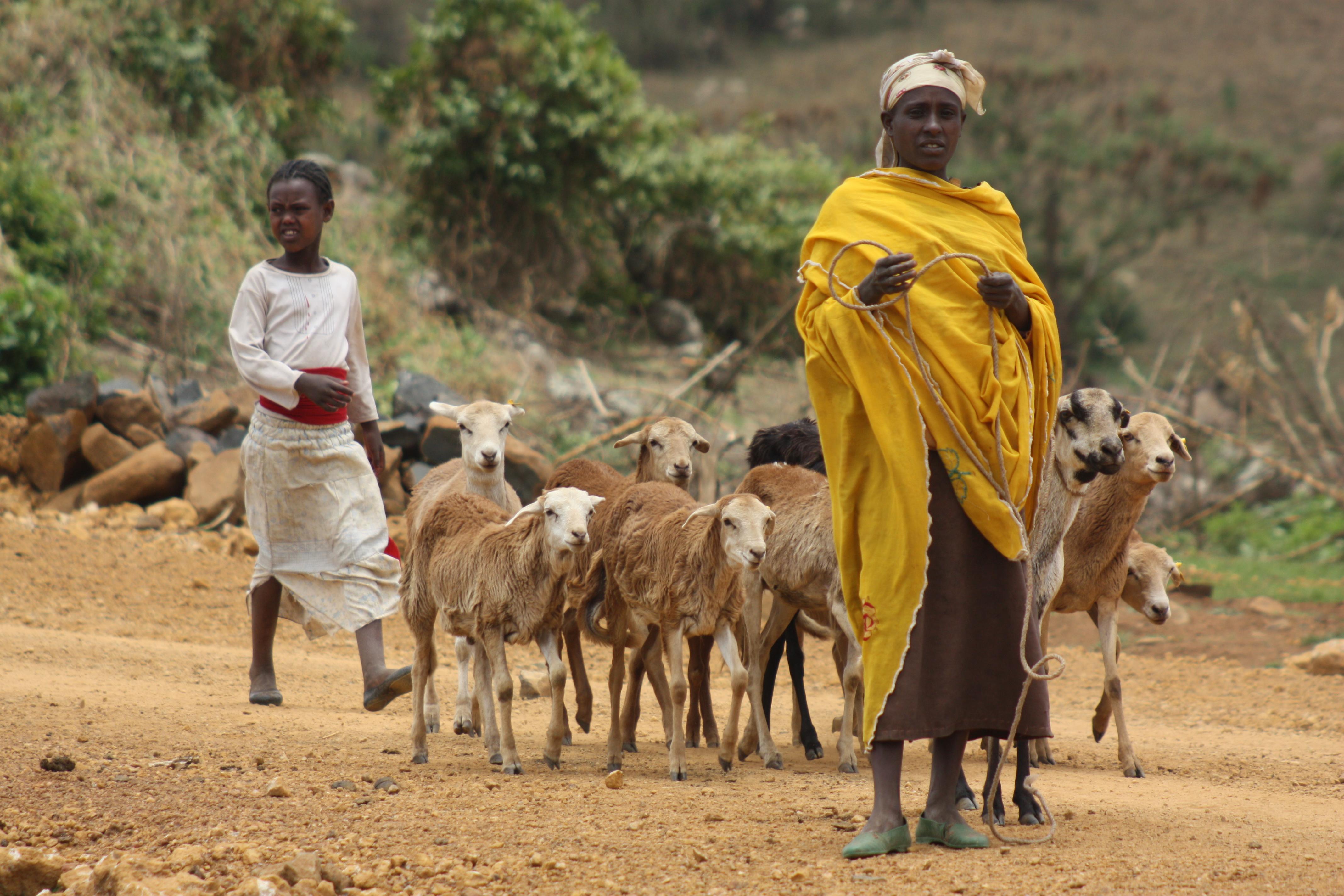 Taking sheep for disease testing in Ethiopia (photo credit: ILRI/Barbara Wieland)