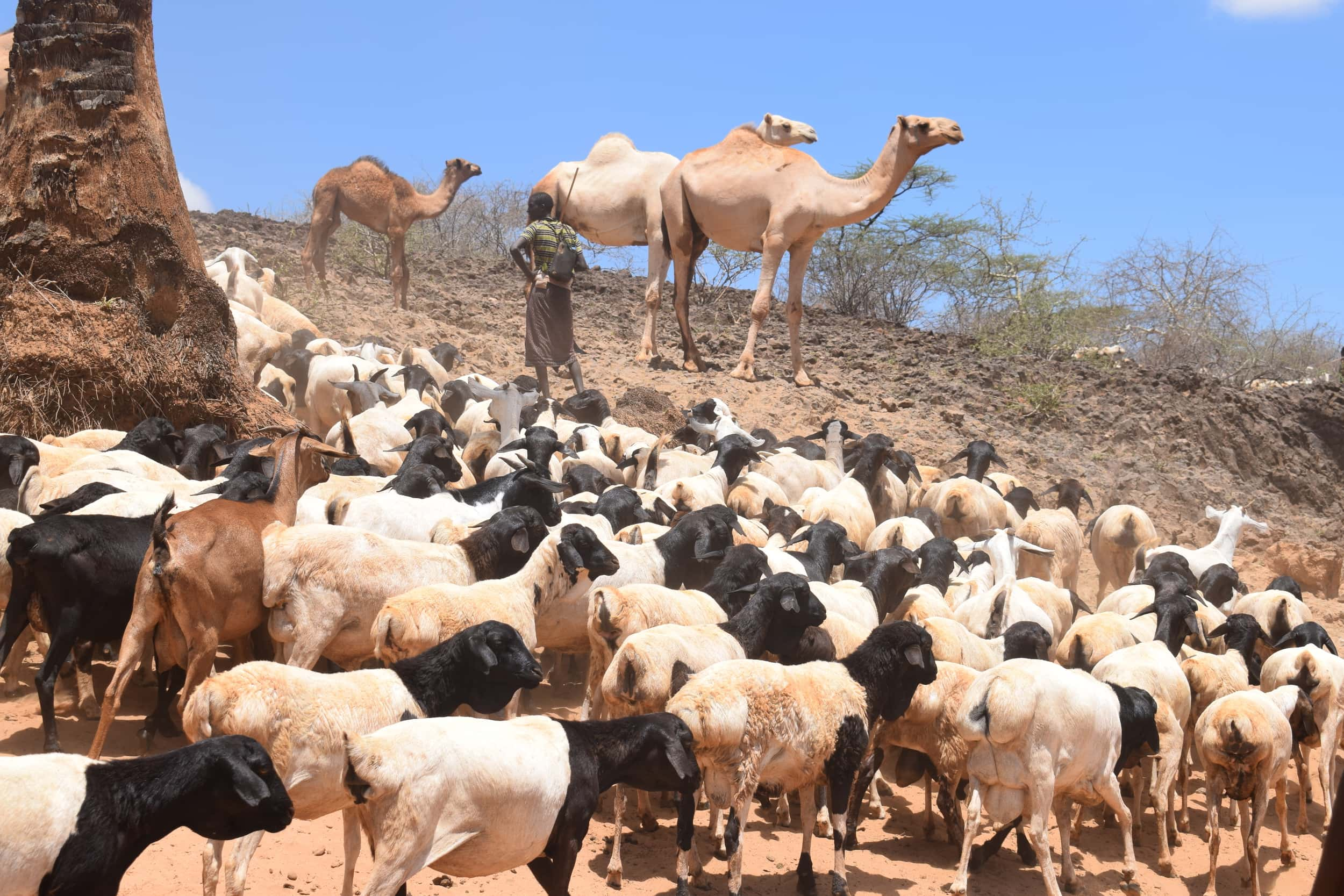 A herder with his livestock in Isiolo County, Kenya. (photo credit: ILRI/Dorine Odongo)