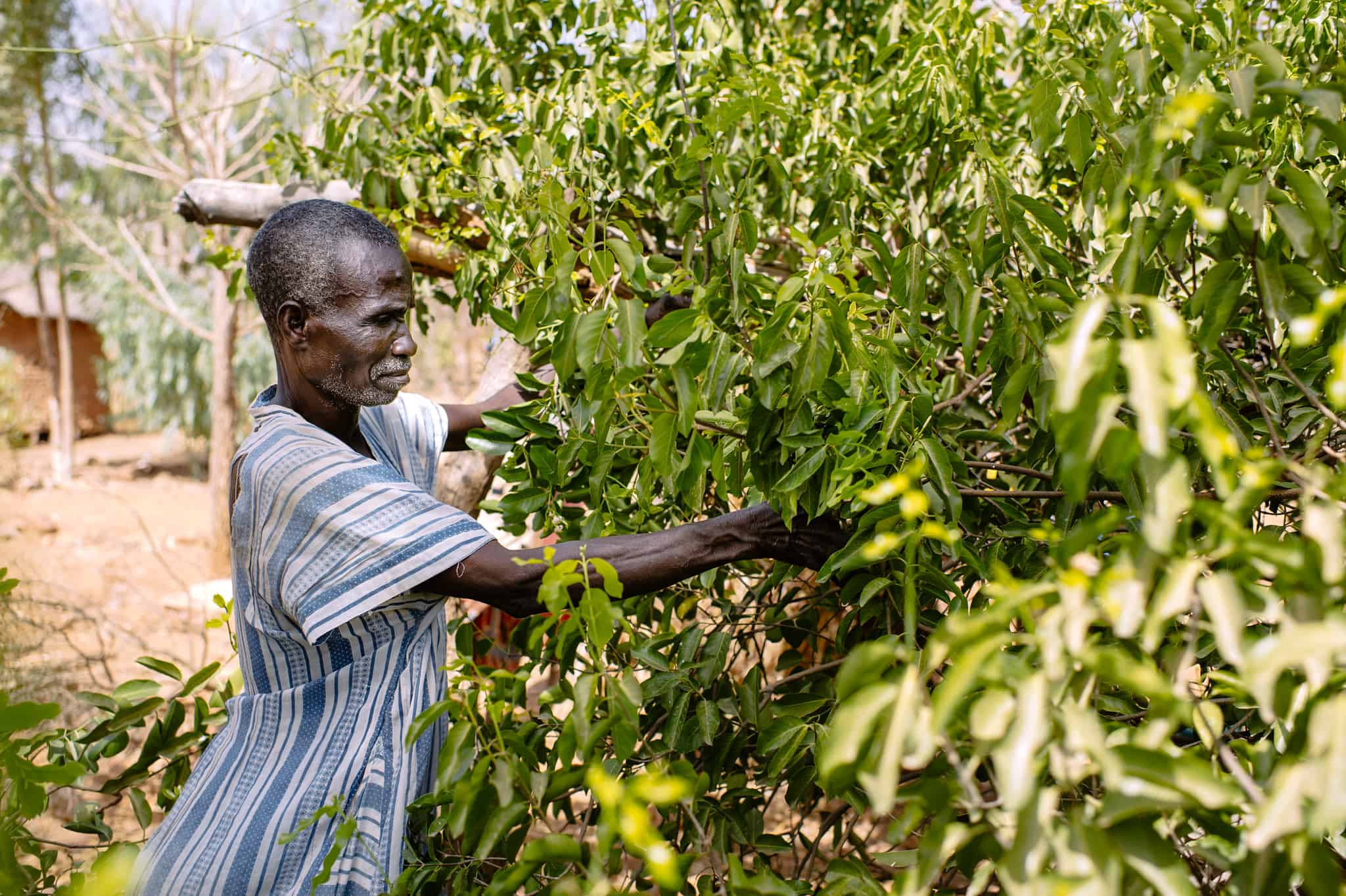 A farmer harvests fruit in Birou village, Burkina Faso. Photo by Ollivier Girard/CIFOR