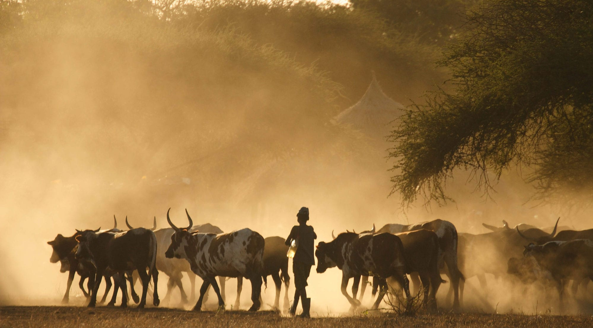 A boy returns home with his family herd at dusk in Lhate Village, Chokwe, Mozambique (photo credit: ILRI/Stevie Mann).