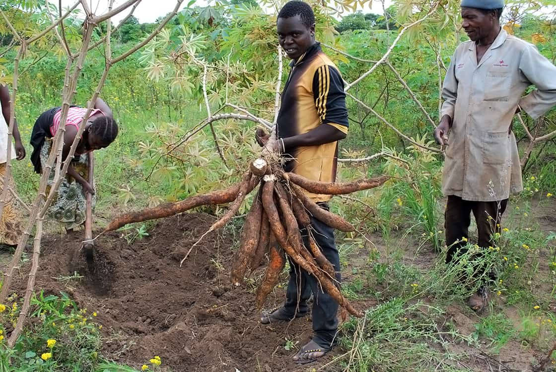 How the right planting season can boost cassava yields