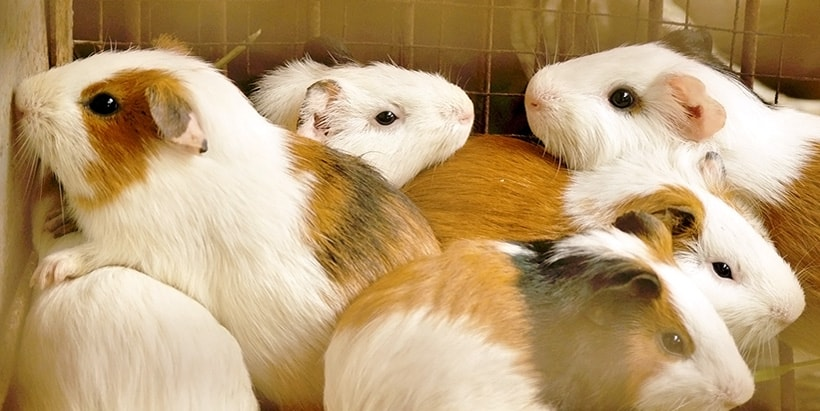 Cavies are not rats! They're a source of protein and income - study