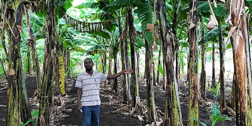 Tanzania's traditional cooking banana yields more than expected!