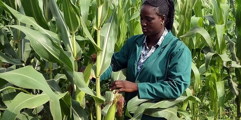 IITA-BIP sets record for maize production per hectare in Nigeria