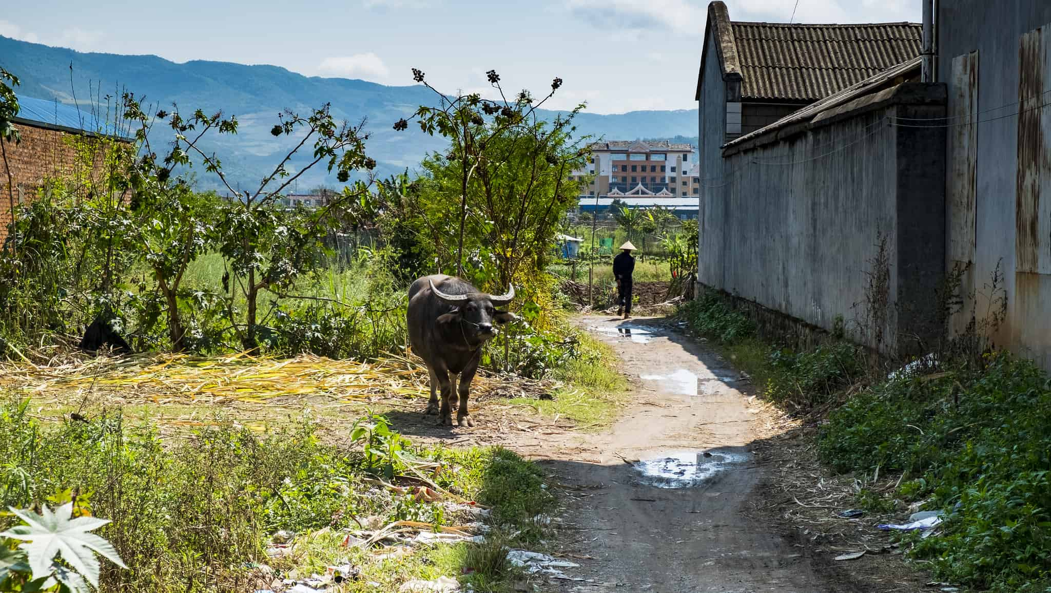 Water buffalo in a Chinese village