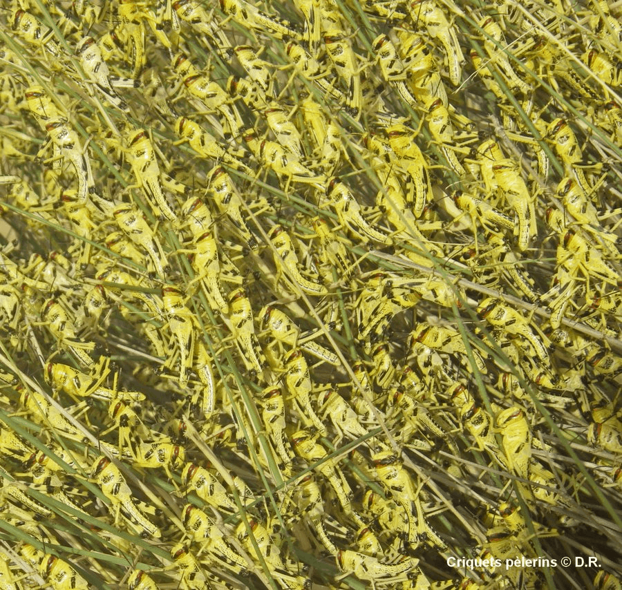 Swarms of desert locus, Photo from CIRAD