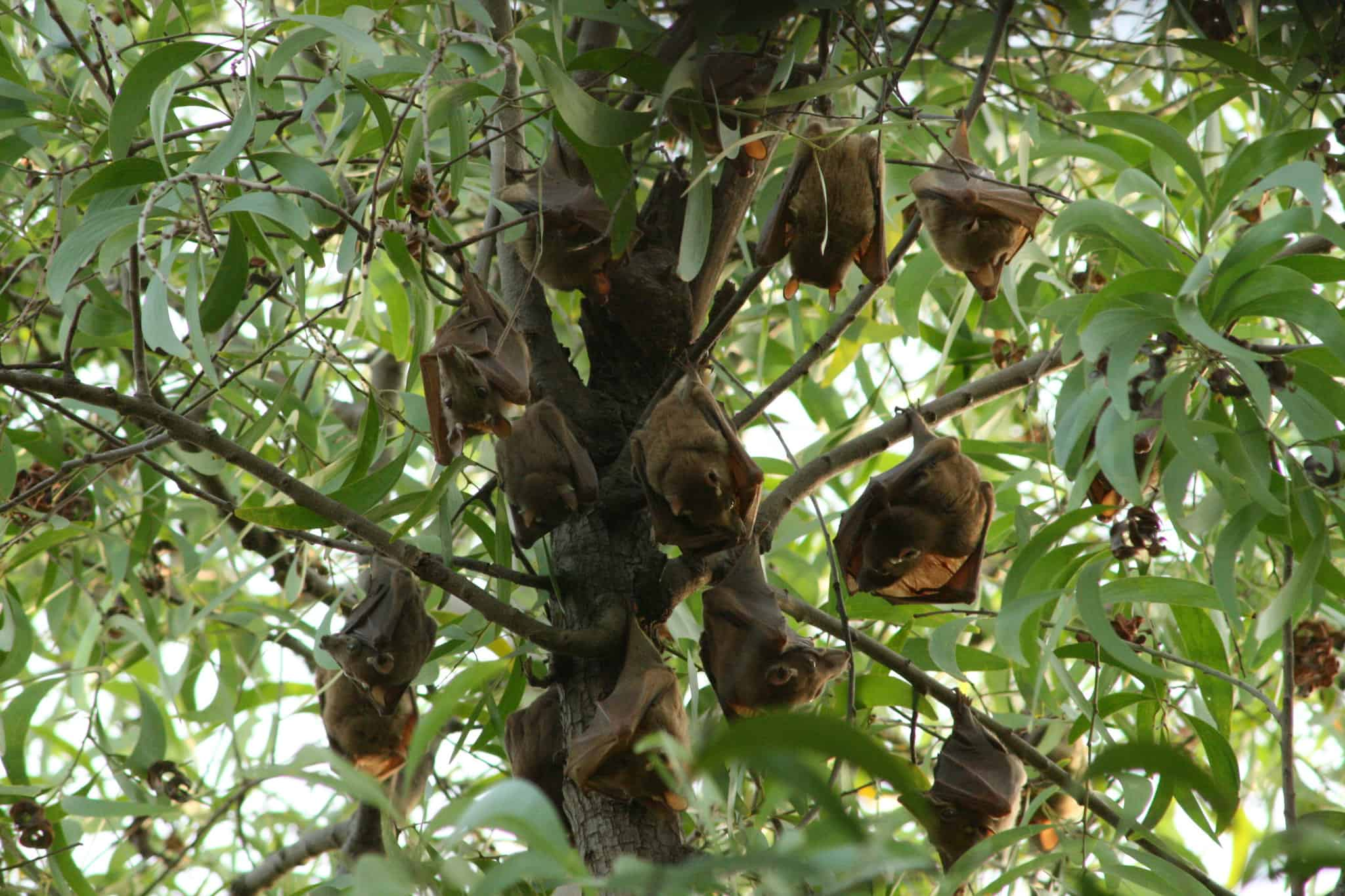 Bats hang in a tree in Togo