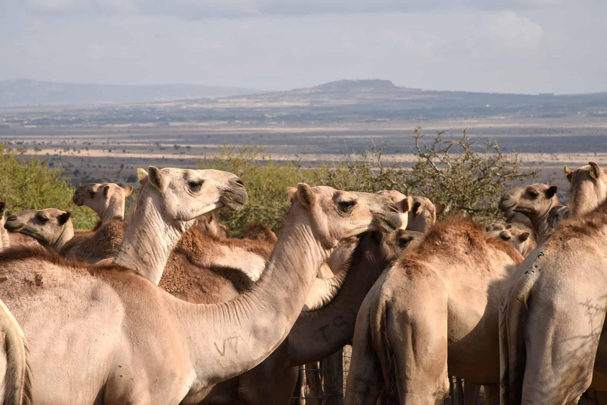 Camels drinking at a water pan in Wajir county in Kenya (photo credit: ILRI/George Wamwere-Njoroge).