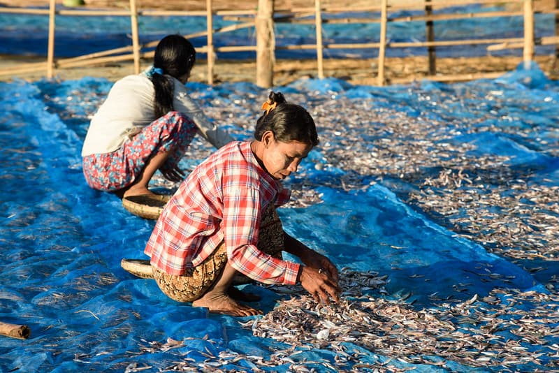 WorldFishFollow Fish drying, Ngapali beach, Gyeiktaw, Myanmar. Photo by Finn Thilsted.