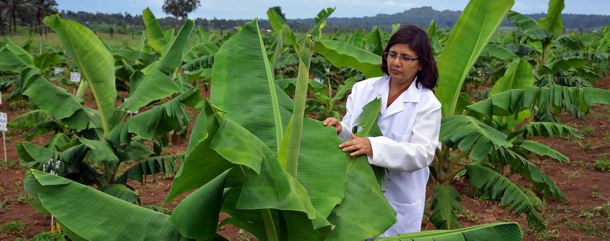 Dr Leena Triphati on the banana field