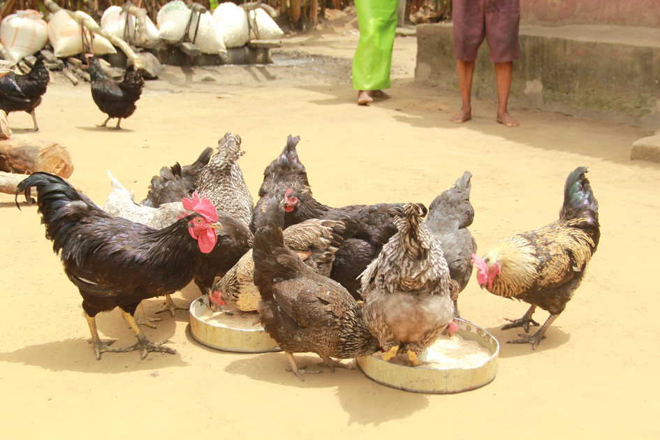 Chickens on a farm in Isiokpo, Nigeria (photo credit: ILRI/ACGG Nigeria).