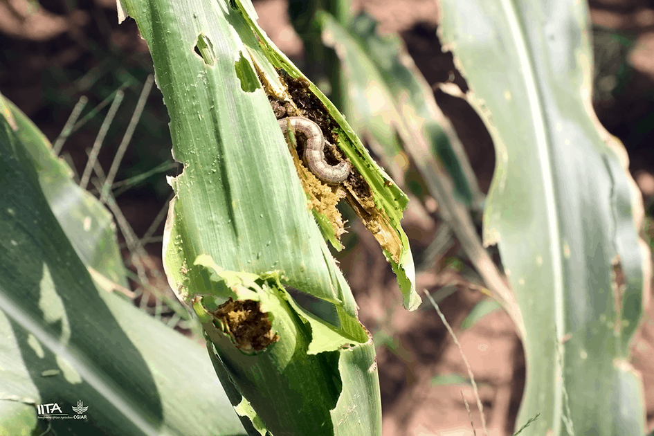How IITA discovered the fall armyworm